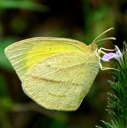 黄色のシロチョウ科の蝶